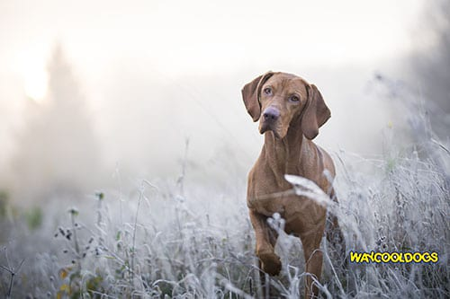 Spreading of Canine Brucellosis in the U.S. | WayCoolDogs.com Brucellosis In Dogs