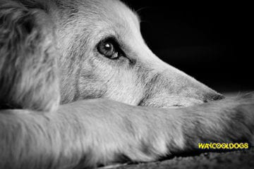 Heat Exhaustion In Dogs With Vomiting Waycooldogs Com