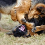 Professional Dogs Bred for Illegal Fighting