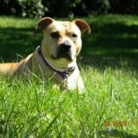 A Loving Home for a Pit Bull Named Izzy
