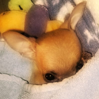 small dog syndrome with chihuahua image