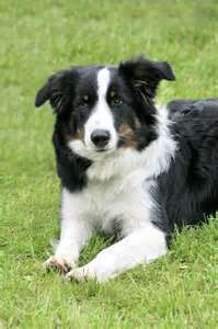 Old border collie
