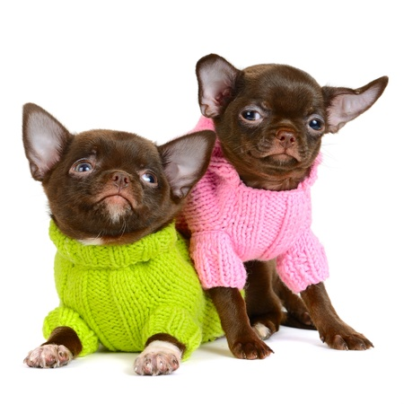sweater dogs
