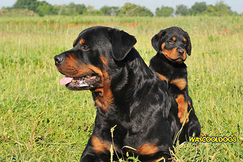 Image of: Animals Emblems Rottweiler Pinterest The Guard Dog How To Choose Breed With Correct Behaviors