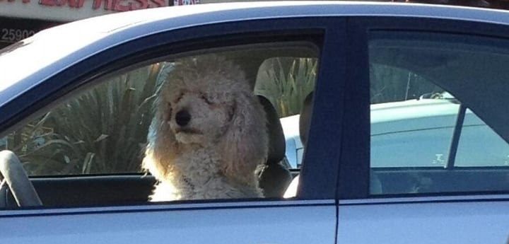 car industry for dogs