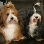 5 of the Best Apartment Dogs That are Hypoallergenic