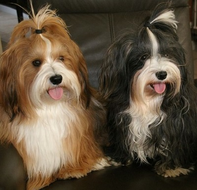 non-allergenic apartment dogs