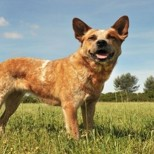 How to Take Care of Australian Cattle Dogs