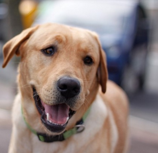 yellow lab is one of the happy and healthy dogs