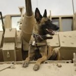 Military Dogs – An Overall Look