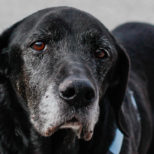 Pets are Forever… or They Should Be! The Story of Buddy, the Black Lab
