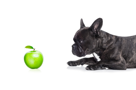Dog eats apple