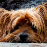 Yorkies, One of the Most Appreciated Dog Breeds
