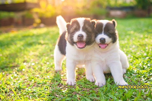 Pomsky Puppies - Rare and One of a Kind for Children
