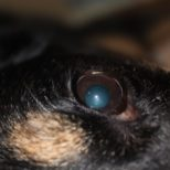 Cataracts in Dogs – Treating with Natural Primalix Cataractin