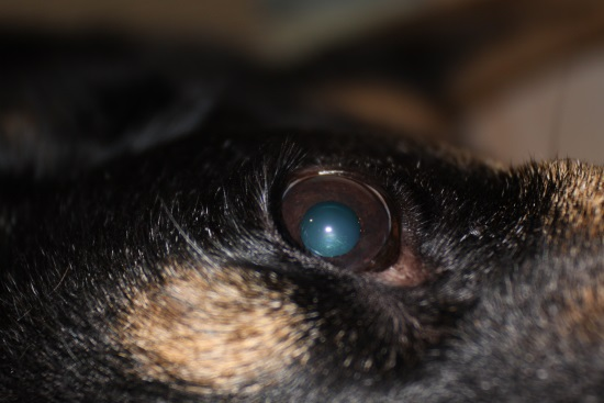 picture of cataracts in dogs