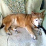 Euthanizing the Elderly Dog – Stress-Free Decisions on Ending the Life of the Family Dog