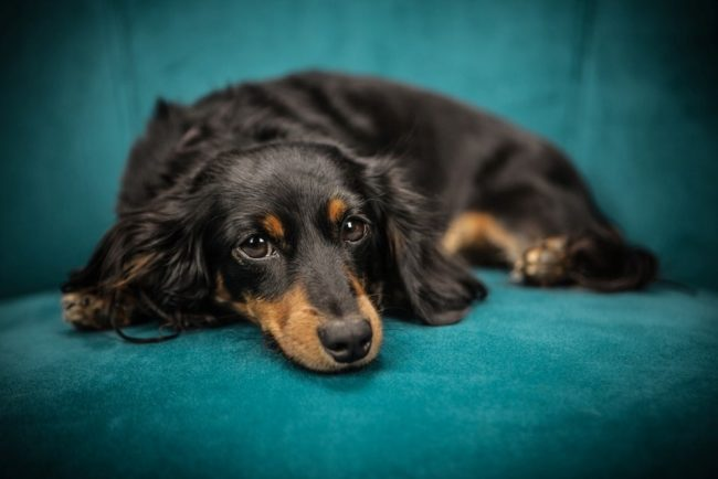 cancer in dogs - long haired dachshund with cancer lying in chair